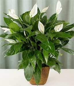 incasaconloSpatifillo&#;Spathiphyllum