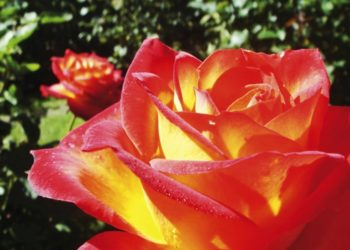 Essiccare le rose in modo veloce e semplice: cosa serve