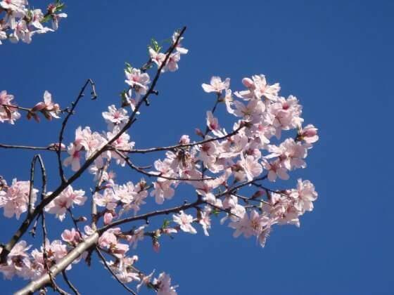 rami di mandorlo in fiore
